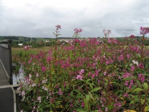 Himalayan Balsam growing tall